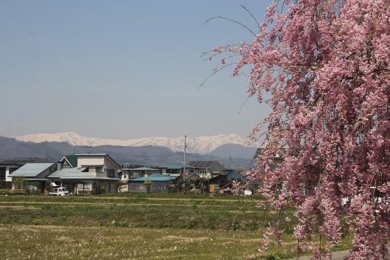 残雪の山としだれ桜