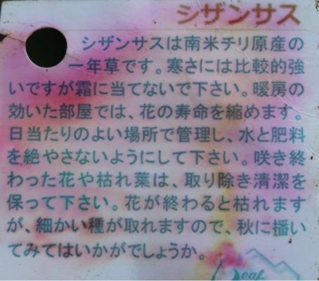 シザンサス_4919 (1)