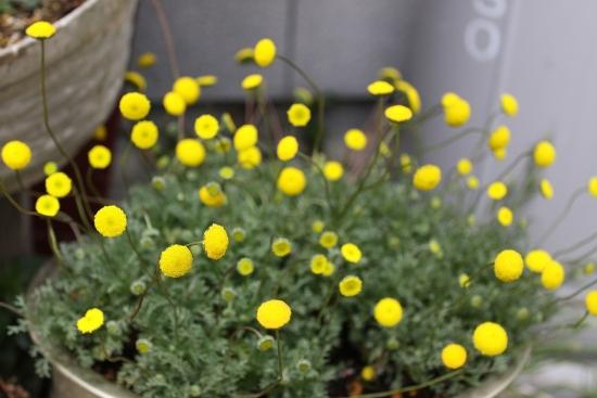 黄色ポンポン_4973 (1)