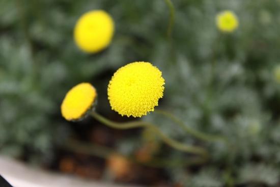 黄色ポンポン_4973 (2)