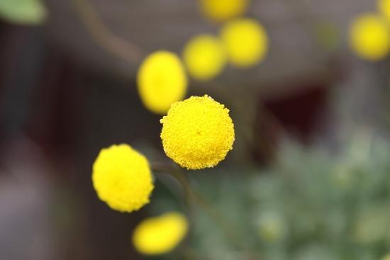 黄色ポンポン_4973 (4)