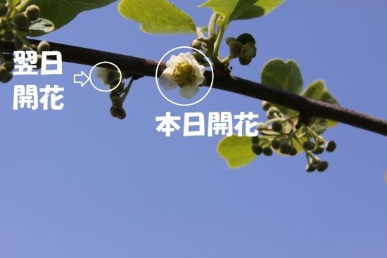 キウイ422_5010 (9)