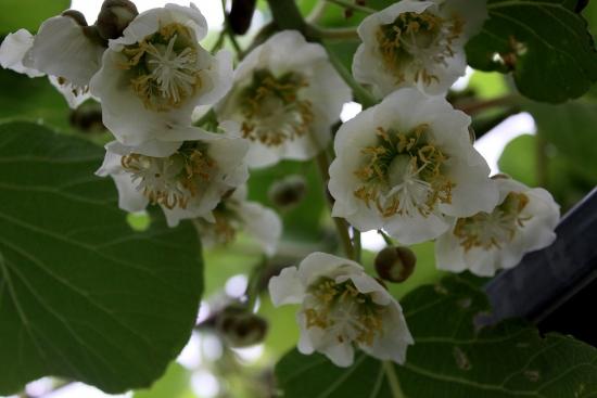 キウイの花って美しい_5090 (1)