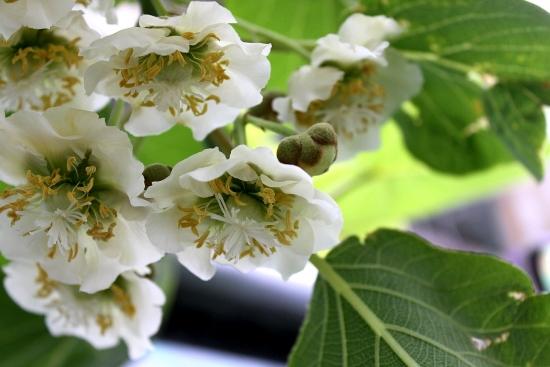 キウイの花って美しい_5090 (2)