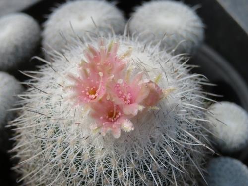 エピテランタ・かぐや姫( Epitelantha micromeris var.unguispina) *原産地:メキシコ・ヌエボレオン州~開花中♪2018.03.29