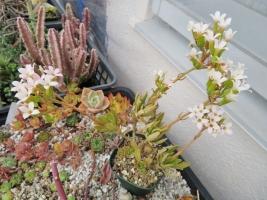 細葉カランコエ・白花(後半ややピンク)まだまだ開花中♪2018.04.05