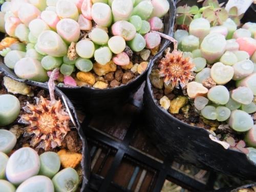 フェネストラリア・ベビートゥ乾くので水やりしたら種カプセル開いて種が流れそうです(ToT)2018.04.06