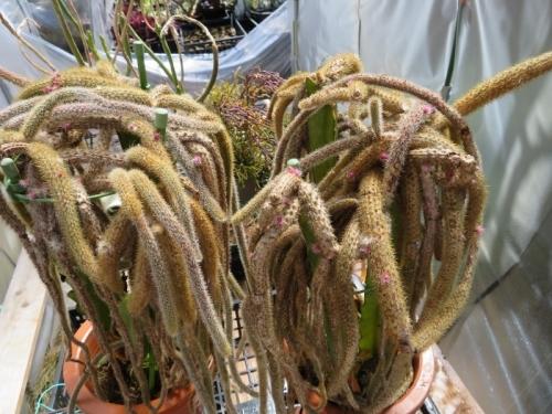 ポロカクタス・金紐~三角柱接ぎ~花芽は上がりますが、台木がダメになります。2018.04.08