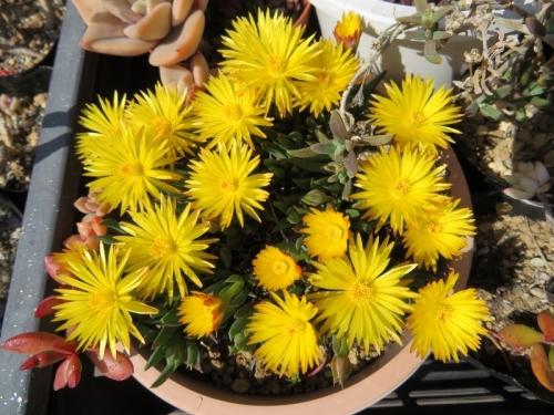 ベルゲランタス・三時草~午後3時頃から咲き始めます♪