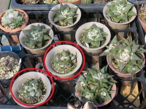 ■アリオカルプス・三角牡丹×岩牡丹(Ariocarpus retusus)交雑種?美白花♪2018.04.12