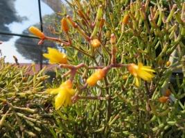ハチオラ・白糸の滝(Hatiora salicornioides var. bambusoides)芳香花木♪~2018.04.20