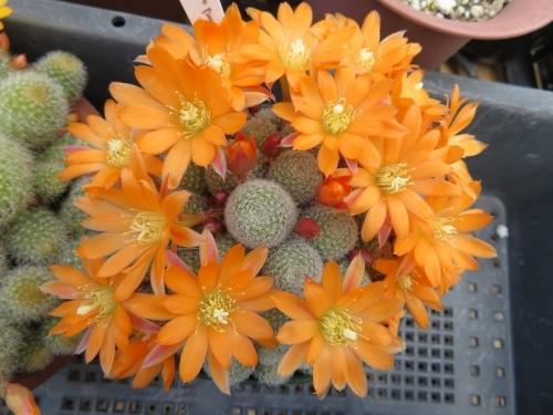 レブチア・ムスクラ(Rebutia muscular)交配種~オレンジ花♪2018.04.26