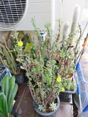 オキザリス・ギガンティア(Oxalidaceae Oxalis gigantea) まだまだ開花中♪2018.05.01