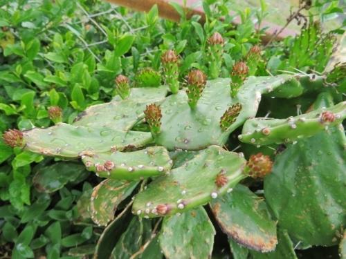 単刺団扇(Opuntia vulgaris)~刺座から花芽ができています♪2018.05.04