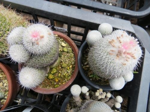 ■エピテランタ・かぐや姫( Epitelantha micromeris var.unguispina)花気が長い♪2018.05.25
