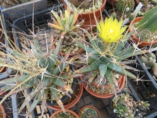 ■レウクテンベルギア・晃山(こうざん)(Leuchtenbergia principis)一番花開花♪2018.0528