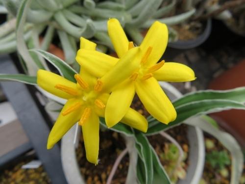 ヒポキス・ローペリ(Hypoxis rooperi)、ヒポキシス・ルーペリー~開花中♪2018.05.29