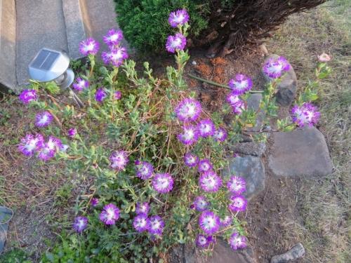 ◆ケンシチア・千歳菊 (Kensitia pillansii)~面白い花の構造♪2018.06.02