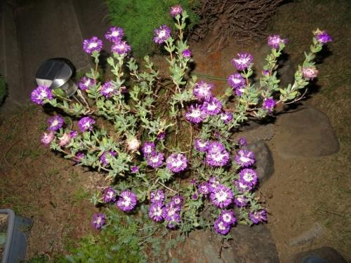 ◆ケンシチア・千歳菊 (Kensitia pillansii)~i一度開くと夜も咲いている♪面白い花の構造♪2018.06.05