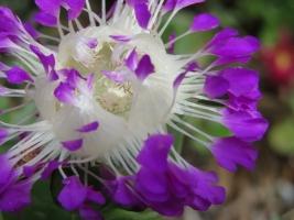 ケンシチア・千歳菊 (Kensitia pillansii)~面白い花の構造♪只今満開花中2018.05.26