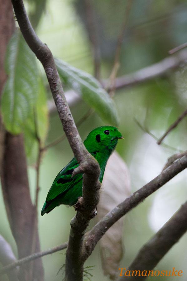 Green_Broadbill_20.jpg