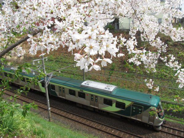 2014年に全ての桜が伐採された東急池上線洗足池駅付近。跡地では新たな桜の植樹が行われており、十数年後には桜並木が再生することが期待される。