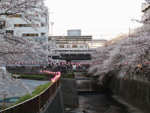 目黒川の桜。近年はInstagramなどでの写真のシェア流行などもあり人気が急上昇している。
