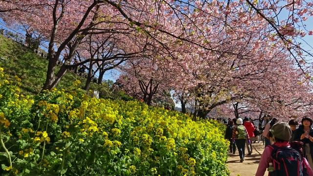5松田山の河津桜と菜の花が満開