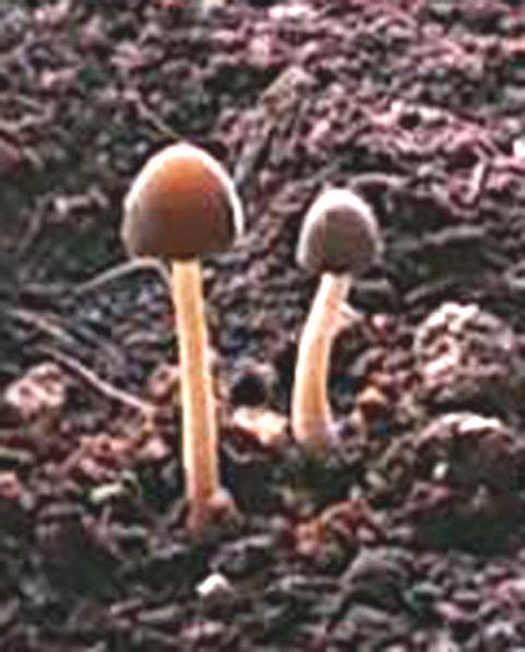 鉢植えキノコ