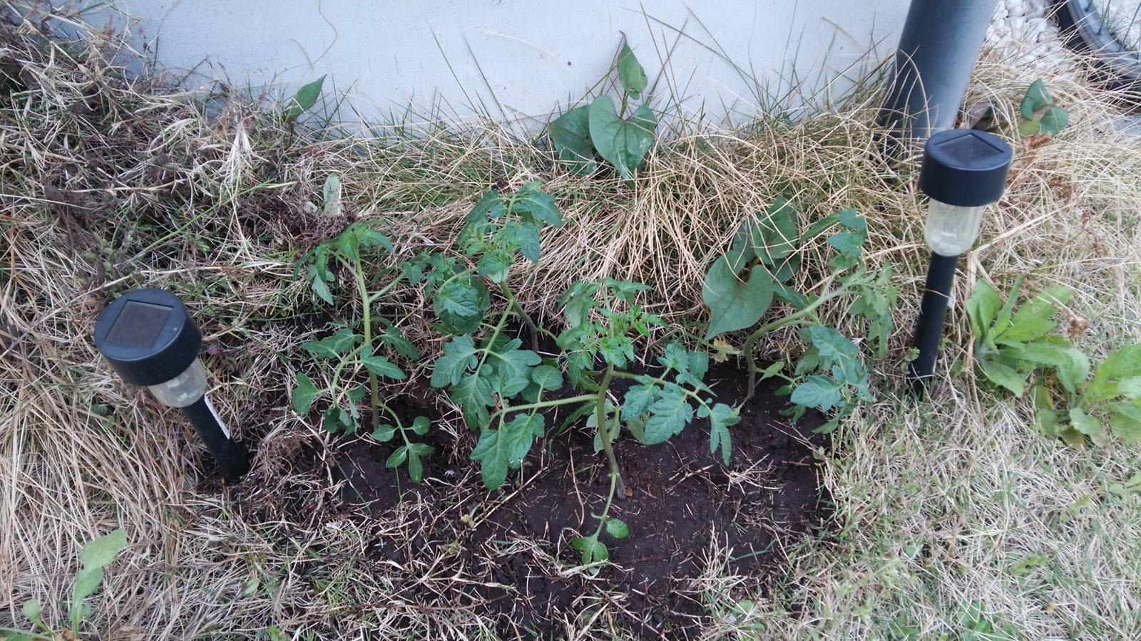 ミニトマト植栽