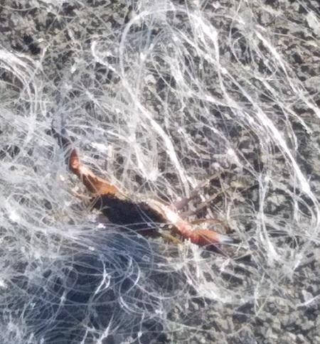 カニ網にかかったカニ115kb