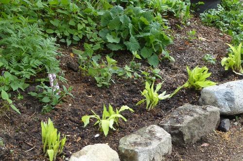 ギボウシの植え込み