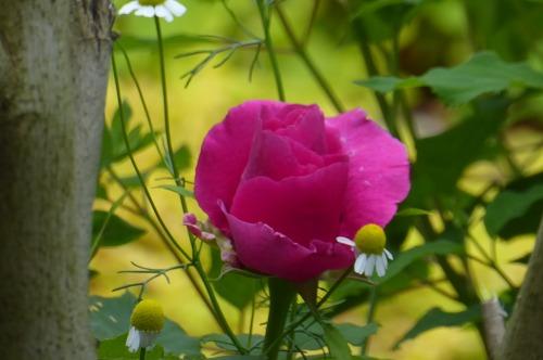 バラ3種類