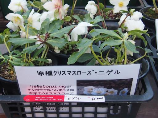 20150111・植物1-2・クリスマスローズ