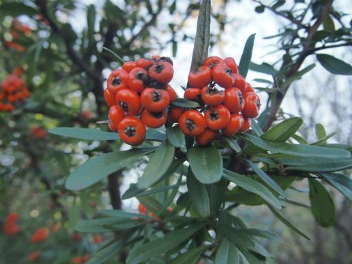 20141227・植物1・タチバナモドキ