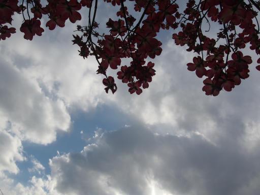 20180408・夏近し近所の空20・ハナミズキ(紅)と空