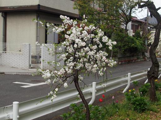 20180408・夏近し近所の散歩1-11・モモ