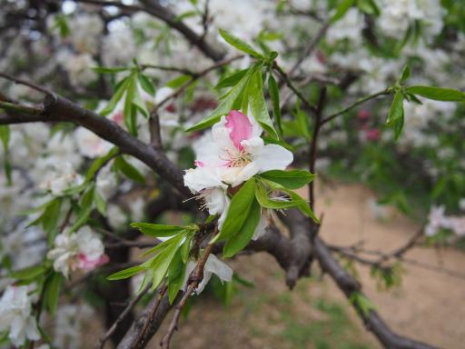 20180408・夏近し近所の散歩1-16・モモの花