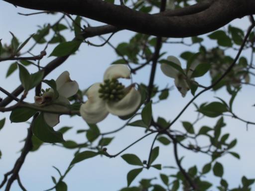 20180408・夏近し近所の散歩2-21・白いハナミズキ