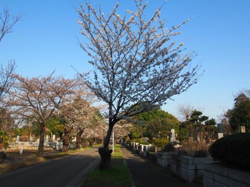 20180325・墓参り植物09・サクラ(ソメイヨシノ)