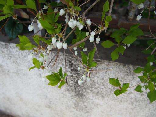 20180408・夏近し近所の植物06・ドウダンツツジ