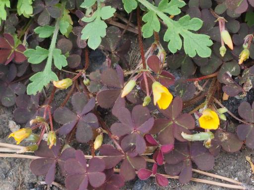 20180408・夏近し近所の植物05・アカカタバミ