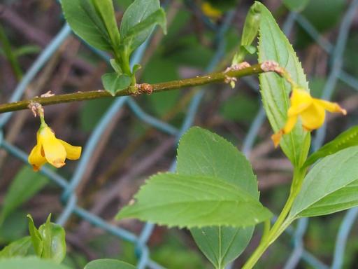 20180408・夏近し近所の植物01・レンギョウ