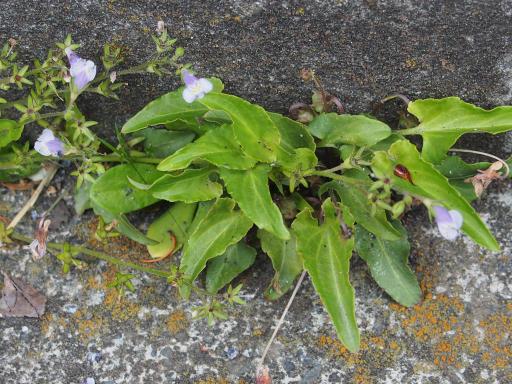 20180408・夏近し近所の植物02・トキワハゼ