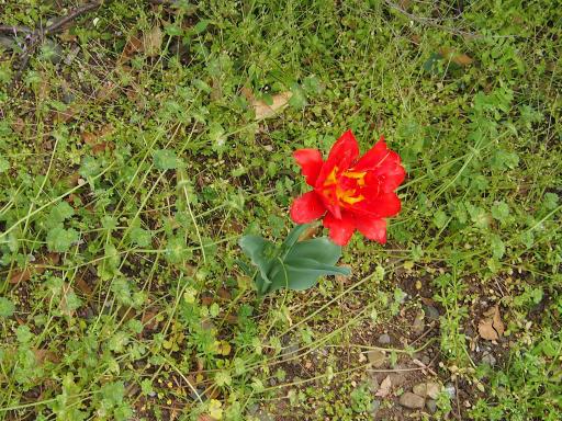 20180408・夏近し近所の植物09・カンナ