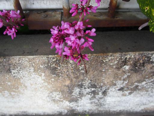 20180408・夏近し近所の植物07・ハナズオウ