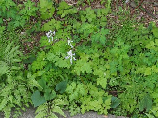 20180408・夏近し近所の植物18・シロヤブケマン