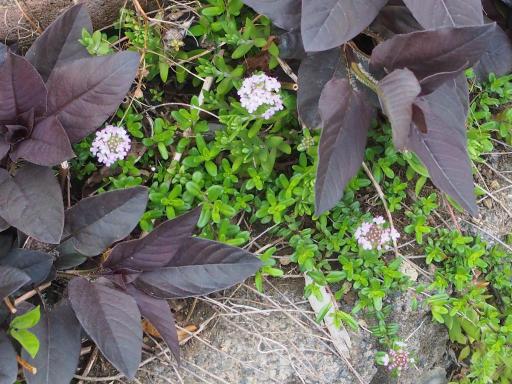 20180408・夏近し近所の植物16・イブキジャコウソウ