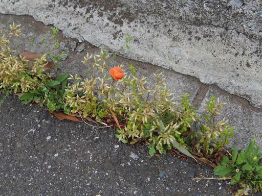 20180408・夏近し近所の植物24・ナガミヒナゲシ