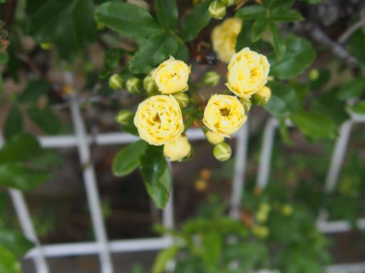 20180408・夏近し近所の植物22・キモッコウバラ